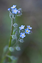 Forget-me-not (Myosotis arvensis), Surrey, early June.
