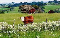 Cows on a farm  near Waiuku on North Island  in New Zealand