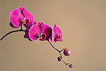 Magenta orchids against a simple earth toned background.