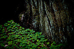 Redwood sorel grows  at the foot of a redwood in Muir Woods National Monument, January 26, 2011.