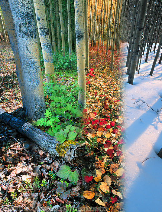 DIGITAL COMPOSITE: Boreal forest of aspen trees in four seasons, Fairbanks, Alaska