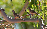 Peaceful doves, Kimberley region, Western Australia