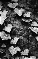 Ivy, Suffolk | Black and White