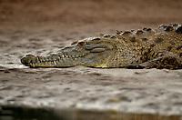 Crocodile (Crocodylus acutus) Tárcoles River, Costa Rica