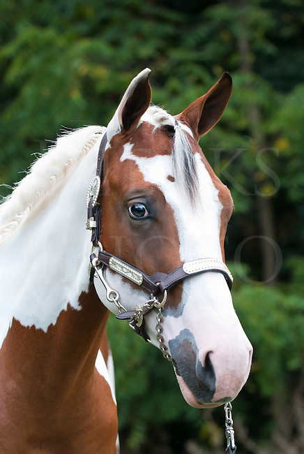 The gallery for --> Beautiful Paint Horse Photography