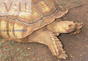 African Spurred or Spur-thighed Tortoise (Geochelone sulcata), Central Africa.