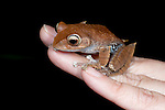 Madagascar Bright-eyed Frog, Boophis madagascariensis, on hand, Nr Mantadia National Park, Andasibe, Madagascar, Least Concern on the IUCN Red List, Mantellidae family endemic