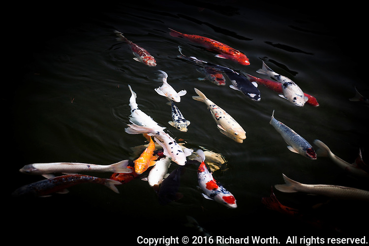 A garish rainbow is displayed on koi fish swimming in loose formation in the pond at the Japanese Gardens in Hayward, California.