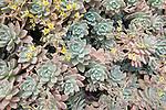 A kind of Echeveria - Graptoveria hybrid, (common name: Succulent), Old Mission Santa Barbara gardens, Santa Barbara, CA, USA