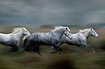 Here a group of Camargue horses are captured as they run full out across a salt marsh. It is amazing to me how sure-footed these horses are on such uneven ground, but given their centuries of inhabiting this small Ile de Camargue region, they have obviously adapted to the harsh climate and their close proximity to water.