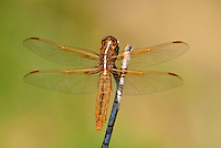 389310016 a wild female flame skimmer libellula saturata perches on a dead twig in fish slough mono county callifornia