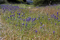 Lupine grow in a small field along the road in Asti is Sonoma County in Northern Californnia