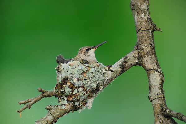 Black-chinned Hummingbird (Archilochus alexandri), young in nest, New Braunfels, San Antonio, Hill Country, Central Texas, USA