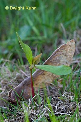 MP02-500z Sugar maple seedling, seed coat, Acer saccharum