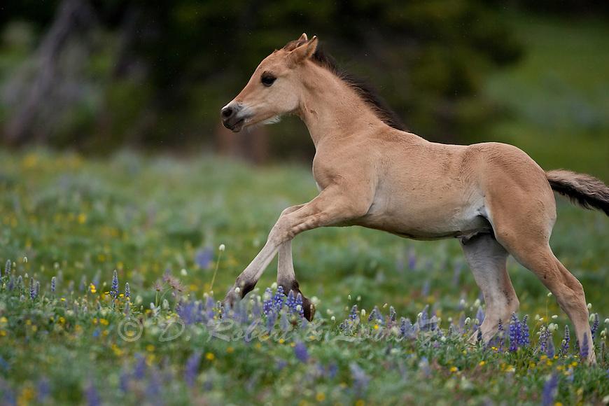 wild horses mustang running