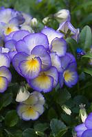 Viola Etain, violets in bloom