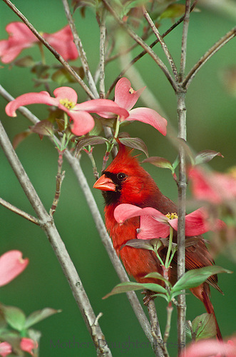 Male Northern Cardinal, Cardinal Cardinalis, peeking from blooms of pink dogwood tree (Conus florida)