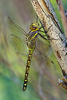339570007 a wild female heteromorph paddle-tailed darner aeshna palmata perches on a large branch along jean blanc canal north of bishop inyo county california united states