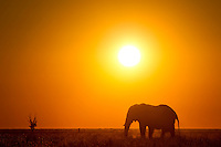 Lone bull Elephant on open plain at sunset