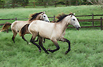 Lusitano horses run through a lush green field.