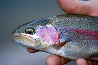 Catch and release trout fishing Green river Utah. Beautiful colors of a small rainbow trout.