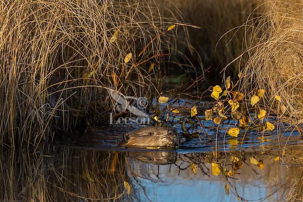 North American Beaver (Castor canadensis) towing aspen tree limb down small channel towards its lodge.  The beaver will store this limb underwater near its lodge where it will use it for winter food after the pond has frozen over.    Northern Rockies,  Fall.