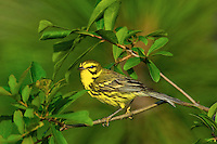 592260005 a wild male prairie warbler setophaga discolor - was dendroica discolor - perches on the top of a large leafy plant in the angelina national forest jasper county texas