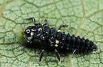 2 Spot Ladybird, Adalia bipunctata, larvae feeding on aphid, black, two.United Kingdom....