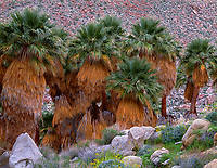 CADAB 124 - Grove of California fan palms (Washingtonia filifera) which is the only palm tree native to western North America, Palm Bowl Grove, Mountain Palm Springs, Anza-Borrego Desert State Park, California, USA --- (4x5 inch original, File size: 6135x4800, 84.3mb uncompressed)