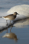 Black-bellied plover, Santa Barbara