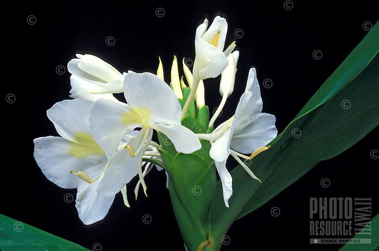 A group of pristine white ginger blooms on the plant.  White ginger=Hedychium coronarium=awapuhi keokeo