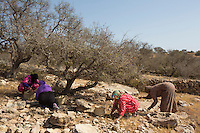 Morocco - Tidzi - Members from the Ajddigue picking up the Argan fruits in the forest. The argan oil is extracted by local women in the same traditional way that was passed on by their ancestors. After collecting the fallen fruits from the trees, women crush their nuts in order to extract the kernels, which are then passed through a millstone and grinded. The oil is extracted by adding water and pressing the resulting mash. It takes around 30 kilos of fruits to make one liter of argan.