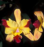 Orchid splash petal cattleya in yellow and red