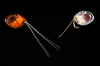 These marine planktonic Ostracods (Macrocypridina castanea) live at depths of 800 meters where daylight is very weak. Their pair of mobile apposition compound eyes with large lenses, wide rhabdoms and high acceptance angles, all of which contribute to a calculated sensitivity comparable with the superposition eyes of deep-water decapod crustaceans.