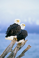Two Bald eagles perched on driftwood along the shore of Kachemak Bay, Homer, Alaska.