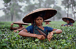 00208_14, Broad straw hats shelter women working on a tea estate, Bangladesh, Monsoons, 1983<br />