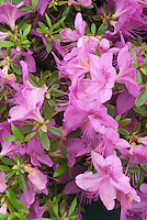 Rhododendron 'Merlin' Knap Hill Exbury Azalea, deciduous type shrub, in spring bloom with pink flowers