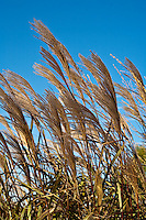 Botanicals: Grasses