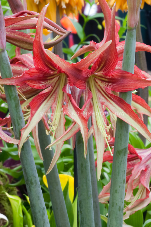 Amaryllis primary hybrid Hippeastrum cybister X papilio