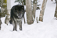 Grey Wolf standing and staring in the snow - CA