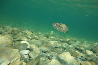 Chinook Salmon (Juvenile)<br />