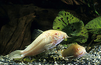 Albino-Panzerwels, Albinopanzerwels, Corydoras spec., Panzerwelse, Callichthyidae
