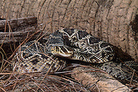 467004005 a captive eastern diamondback rattlesnake crotalus adamanteus lays coiled in striking position and sensing the environment with its tongue - species is native to the southeastern united states
