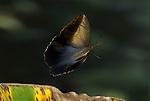 Owl Butterfly, Caligo memnon, in flight, Costa Rica, High Speed Photographic Technique, flying, Family: Brassolidae, tropical jungle.Costa Rica....