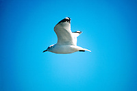 BIRDS<br /> Ringbilled Gull<br /> Larus delawarensis, Rye, NY