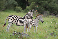 A parent and juvenile Burchell's zebra standing in the grass, Botswana, Africa