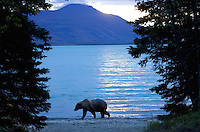 Alaskan brown bear (Ursus arctos) walking next to Naknek Lake, Katmai N.ational Park, Alaska.