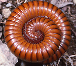 Arizona Desert Millipede, Sonoran Desert, US