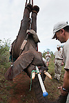 Darted wild elephant being hoisted into position by crane, vasectomy of elephant bull, Loxodonta africana, with Dr Jeff Zuba of the Elephant Population Management Program, senior associate veterinarian of the San Diego Zoologicial Society. Dr Zuba developed the anaesthetic techniques for the procedure. Private game reserve in Limpopo, South Africa