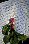 Radishes sit on a farm map at Dell Rio Botanical in West Sacramento, CA May 3, 2010.